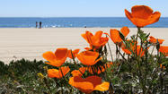 Reader photo: Ocean poppies