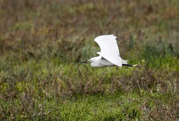 An egret takes flight low over the marsh at the Bolsa Chica Ecological Reserve.