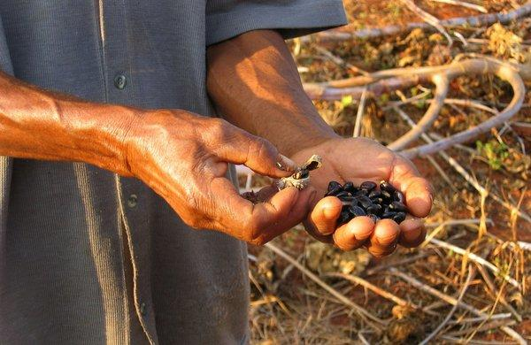 A farmer holds castor beans. Ricin occurs naturally in castor beans.