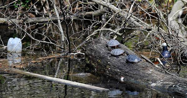 Turtles sun themselves on logs as bottles and debris float down the Lehigh Canal near Lock 41 along the Delaware and Lehigh Trail in Bethlehem Wednesday.