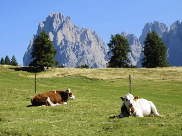 Cows along a hiking trail in South Tyrol, the southern Alps of northern Italy