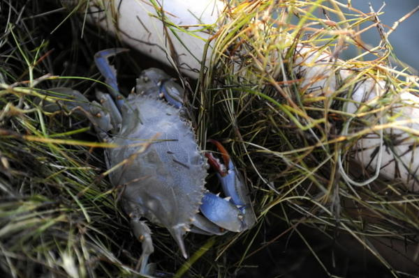The Chesapeake Bay's underwater grasses provide food and shelter to a variety of fish and animals, including the estuary's iconic blue crabs. This one was found in a tangle of grass pulled aboard a crabber's boat in summer 2012.