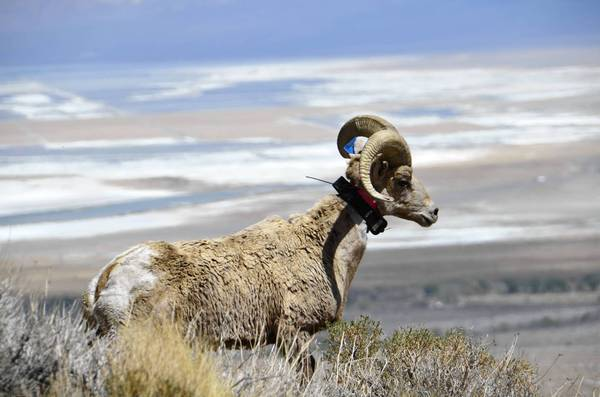 Sierra Nevada bighorn are a genetically distinct subspecies of bighorn sheep, with the rams tending to grow flared, curling horns.