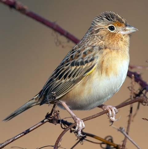 Florida grasshopper sparrow.
