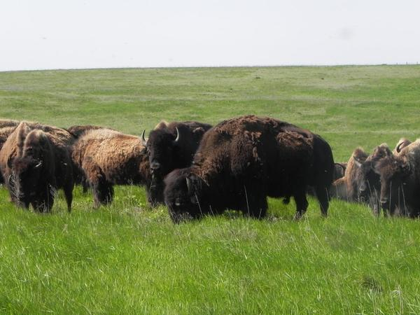 Three-hundred buffalo inhabit the Samuel H. Ordway Jr. Memorial Preserve, 10 miles west of Leola. Buffalo were reintroduced to the preserve as a critical part of the restoration of the tallgrass-prairie ecosystem.