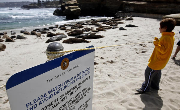A rope barrier separates visitors from harbor seals lounging on the beach at the Children's Pool in La Jolla.