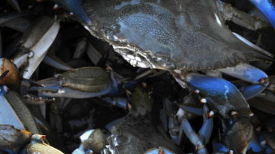 Drop in Bay's crab population to bring new catch curbs