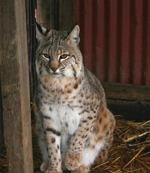 Diablo is a bobcat who lives at Tri-State Zoological Park in Cumberland, Md. A concert Saturday, April 27, featuring former American Idol contestant Bucky Covington, above left, will benefit the zoo.