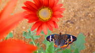 Reader photo: Buckeye butterfly