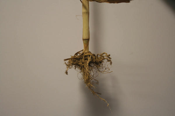 Corn planted in compacted soil shows poor root development, the same thing can happen to the plants in gardens.