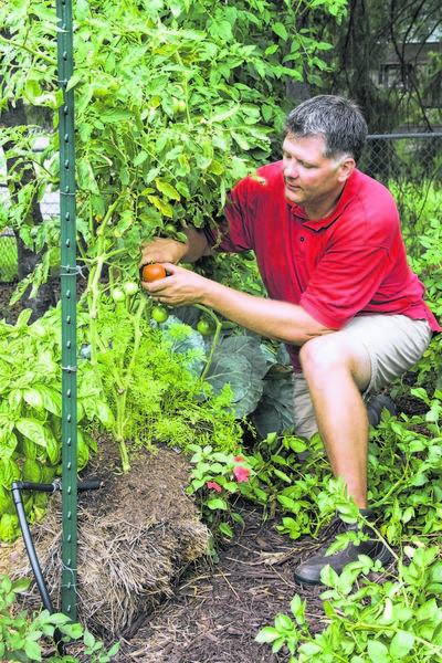 "Joel Karsten harvests tomatoes from his straw bale garden. Karsten has devised a method for growing plants directly in straw bales. His idea is gaining momentum among gardeners with the release last month of his book, ""Straw Bale Gardens"" (Cool Springs Press, $19.99). (Courtesy Tracy Walsh/Poser Design via Akron Beacon Journal/MCT)"