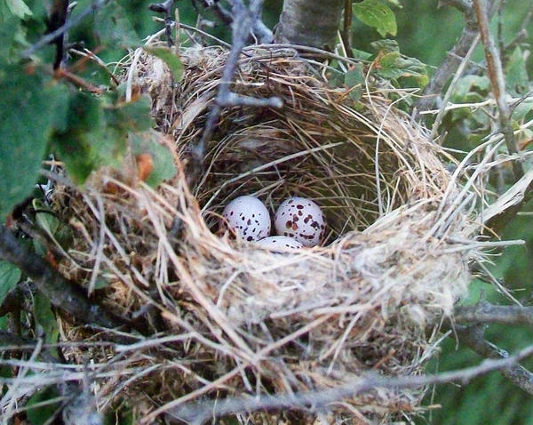 One Israel Mickelson photo portrays delicate speckled eggs wrapped in a down-filled nest of twigs, says the Dacotah Prairie Museum.