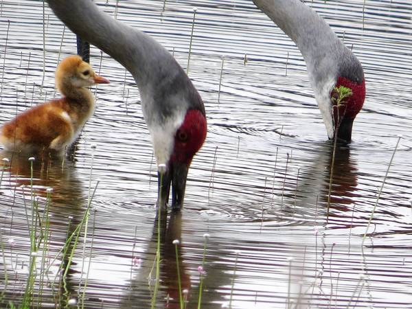 2-day-old Sandhill Crane - lessons in foraging
