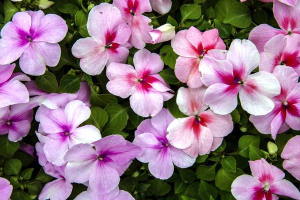 Impatiens, known for their bright colors, are being affected by downy mildew disease.