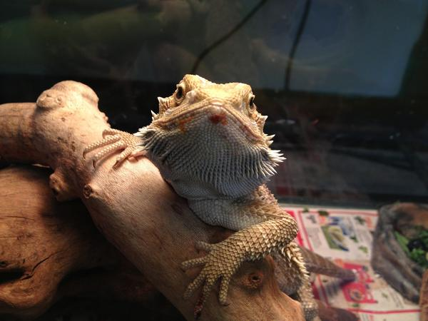Monstro the Bearded Dragon is one of the reptiles who eats city-purchased crickets at the Carrie Murray Nature Center.
