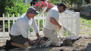 Islamorada surprise: Croc nests in homeowner's yard