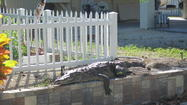 A crocodile that the Monroe County Sheriff's Office says nested in the yard of an Islamorada homeowner Tuesday.
