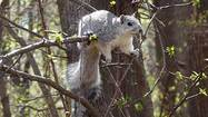 Delmarva Peninsula fox squirrel makes recovery