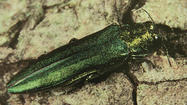 Ash trees within Chicago's parks and the Cook County forest preserves will continue to be cut down and replaced as a result of the emerald ash borer infestation, but those along the city's parkways will be treated starting around May 6, officials said.