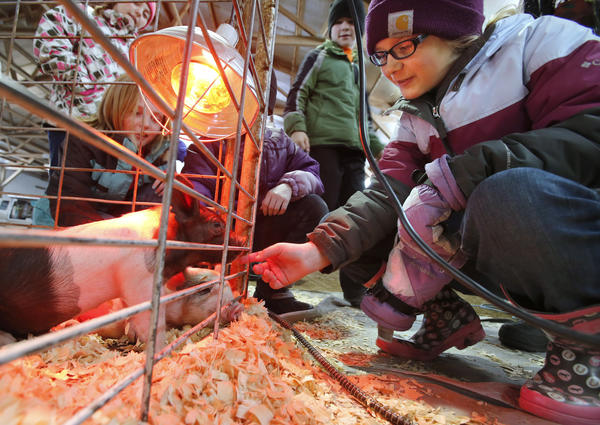 Chesney Olivier, of Ipswich, right, gets acquainted with one of two three-week old pigs keeping warm under a heat lamp in a pin Tuesday at the Annual 4th Grade Ag Fair at Prairie Hills Farms, north of Aberdeen. An estimated 455 fourth graders from 11 local and area schools took part in the event that featured a variety of agricultural exhibits and information stations. photo by john davis taken 4/23/2013