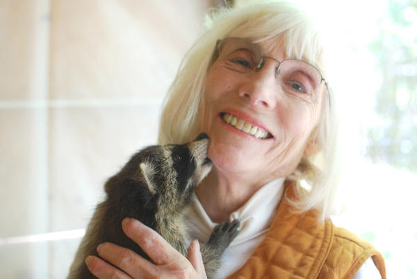 Cindy Burns, owner of Sturgeon Valley Wildlife Rehabilitation and Learning Center near Boyne Falls, holds a baby raccoon she has taken in. The center verifies that wildlife young are orphaned rather than kidnapped by unwitting humans before the organization accepts the young.