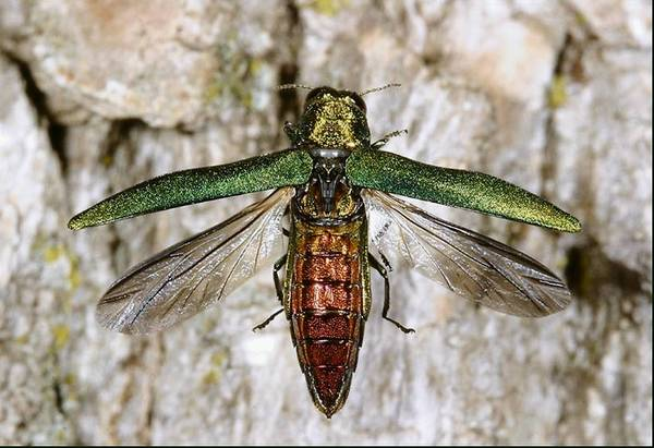 Adult emerald ash borer, named for its metallic green color, is slowly killing trees in many parts of Illinois.
