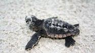 Consider the baby sea turtle: Just a few inches long, it emerges from its sandy nest and, using the moon as its compass, runs down the sandy beach away from its many predators and into the relative safety of the ocean surf.