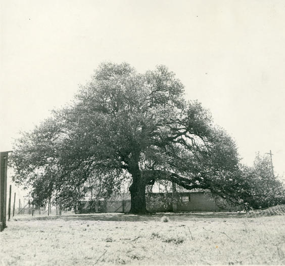 The Emancipation Oak