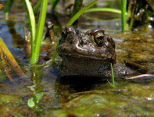 The Yosemite toad has been proposed for Endangered Species Act protection.
