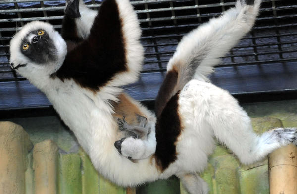 Coquerel's sifaka Max
