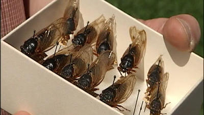 17-year cicadas expected to start appearing in the next week or two