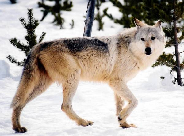 The gray wolf was reintroduced to Yellowstone National Park in 1995. More than 1,600 now roam the northern Rockies.