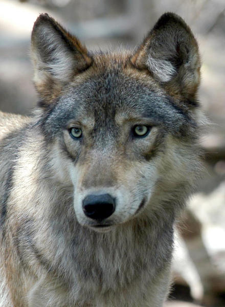 Wolves were once common and ranged across much of the continental United States.