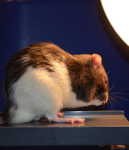 A rat undergoes light therapy
