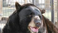 Josh, a 14-year-old black bear who's lived his entire life around adoring humans in South Florida, will be relying on the warm generosity of his fans during a fundraiser at Beef 'O' Brady's in Cooper City.