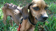 The starving doe-eyed Dachshund smelled like death — his rib cage and spine protruded under his skin as he drank water from a puddle behind a Pembroke Pines shopping center.