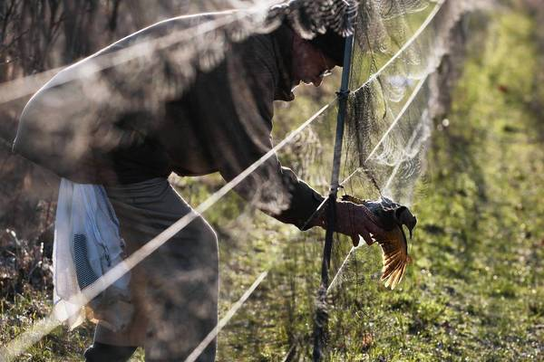 Lee Johnson, 81, pulls a yellow-shafted flicker out of mist net while bird banding April 20 at the Sand Bluff Bird Observatory in Shirland, Ill. Johnson founded the observatory in the late 1960s.