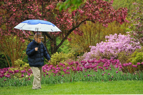 Joe Lentz of Brooklyn Park didn't let the rain deter him from enjoying the tulips at Sherwood Garden in Guilford, though the weather kept the crowds away.