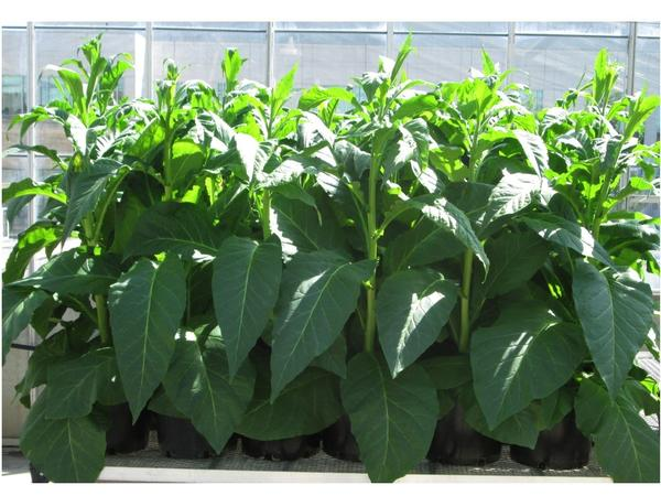 Tobacco plants genetically modified to produce bio-fuels.