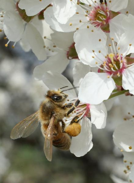 A bee harvests pollen from the flowers of a wild cherry tree in Blankenfelde, Germany.