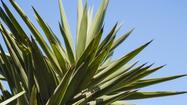 The giant yucca's edible bounty: seeds, fruit, even flowers