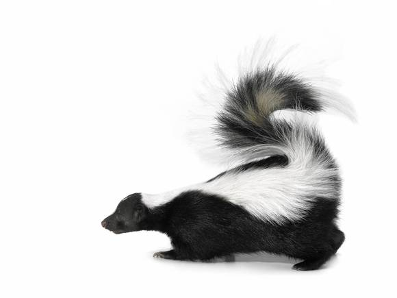 Skunks and pets