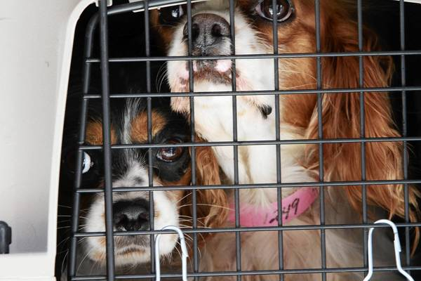 Spaniels rescued from a puppy mill arrive last year at a Chicago shelter. Legislation working its way through the General Assembly would discourage pet stores from working with such disreputable breeders.