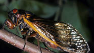 Sometime in coming weeks, in one of the grand spectacles in all of nature, an insect called the periodical cicada will appear by the millions in much of central Connecticut after spending the past 17 years underground.