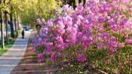 Lombard's annual Lilac Time festival begins Friday and continues through the Lilac Parade on Sunday, May 19.