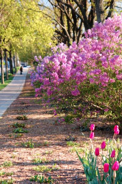 Lilacia Park in Lombard features many varieties of lilacs and tulips that typically bloom during the Lilac Time festival. Last year, the bloom was early.