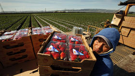 First person: Journalist spends a day picking strawberries