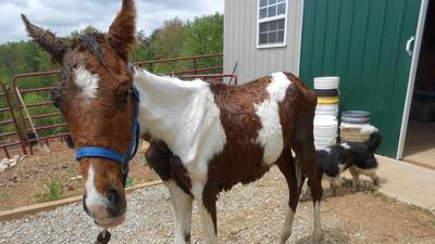UPDATED: Roanoke Valley Horse Rescue asking for donations to help care for emaciated horse