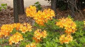 Native azaleas: Eye-catching colors and scent-sational smells good for your yard
