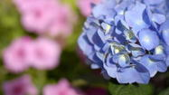 Potted hydrangea may thrive outdoors – or not